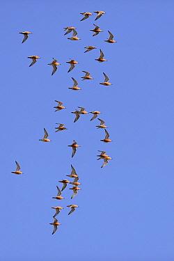 Red Knot (Calidris canutus) flock flying, Varanger Peninsula, Norway  -  Winfried Wisniewski