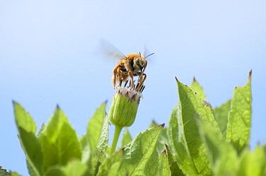 Galapagos Carpenter Bee (Xylocopa darwini) male feeding on flower nectar, Itabaca Channel, Baltra Island, Galapagos Islands, Ecuador  -  Tui De Roy