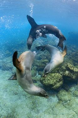 Galapagos Sea Lion (Zalophus wollebaeki) trio playing underwater, Champion Island, Floreana Island, Galapagos Islands, Ecuador  -  Tui De Roy
