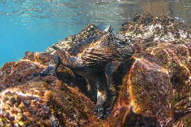 Marine Iguana (Amblyrhynchus cristatus) feeding on algae underwater, Rabida Island, Galapagos Islands, Ecuador  -  Tui De Roy