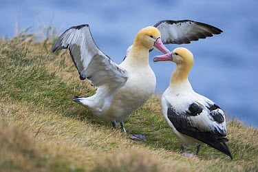 Short-tailed Albatross (Phoebastria albatrus) pair displaying, Tsubamezaki, Torishima Island, Japan  -  Tui De Roy