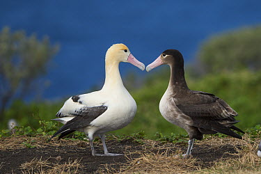 Short-tailed Albatross (Phoebastria albatrus) pair displaying at nest, Torishima Island, Japan. Sequence 1 of 9  -  Tui De Roy