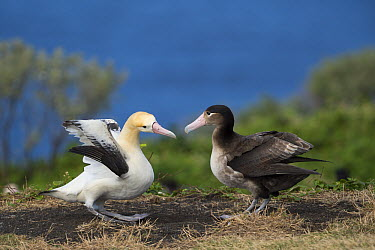 Short-tailed Albatross (Phoebastria albatrus) pair displaying at nest, Torishima Island, Japan. Sequence 2 of 9  -  Tui De Roy