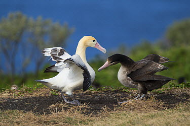 Short-tailed Albatross (Phoebastria albatrus) pair displaying at nest, Torishima Island, Japan. Sequence 3 of 9  -  Tui De Roy