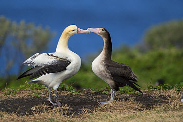 Short-tailed Albatross (Phoebastria albatrus) pair displaying at nest, Torishima Island, Japan. Sequence 4 of 9  -  Tui De Roy
