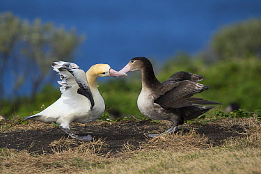 Short-tailed Albatross (Phoebastria albatrus) pair displaying at nest, Torishima Island, Japan. Sequence 5 of 9  -  Tui De Roy