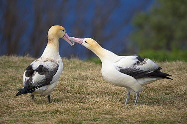 Short-tailed Albatross (Phoebastria albatrus) displaying pair, Torishima Island, Japan  -  Tui De Roy