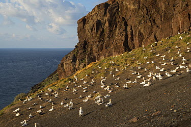 Short-tailed Albatross (Phoebastria albatrus) breeding colony on shore cliffs, Torishima Island, Japan  -  Tui De Roy