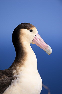 Short-tailed Albatross (Phoebastria albatrus) subadult, Tsubamezaki, Torishima Island, Japan  -  Tui De Roy