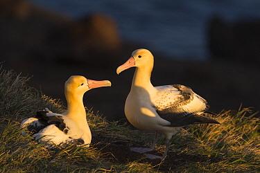 Short-tailed Albatross (Phoebastria albatrus) pair, Torishima Island, Japan  -  Tui De Roy