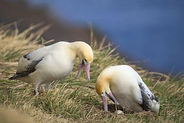 Short-tailed Albatross (Phoebastria albatrus) pair displaying and calling during incubation change-over, Tsubamezaki, Torishima Island, Japan  -  Tui De Roy