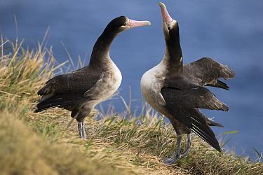 Short-tailed Albatross (Phoebastria albatrus) subadults courting, Tsubamezaki, Torishima Island, Japan  -  Tui De Roy