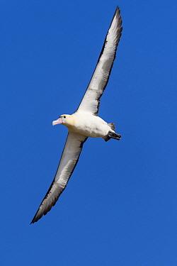 Short-tailed Albatross (Phoebastria albatrus) flying, Tsubamezaki, Torishima Island, Japan  -  Tui De Roy