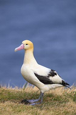 Short-tailed Albatross (Phoebastria albatrus), Tsubamezaki, Torishima Island, Japan  -  Tui De Roy