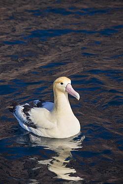 Short-tailed Albatross (Phoebastria albatrus), Torishima Island, Japan  -  Tui De Roy