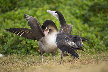 Short-tailed Albatross (Phoebastria albatrus) courting, Hatsunezaki, Torishima Island, Japan  -  Tui De Roy