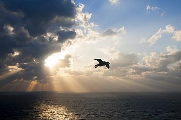 Short-tailed Albatross (Phoebastria albatrus) flying, Torishima Island, Japan  -  Tui De Roy
