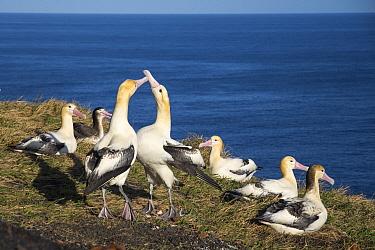 Short-tailed Albatross (Phoebastria albatrus) courting pair at colony, Tsubamezaki, Torishima Island, Japan  -  Tui De Roy