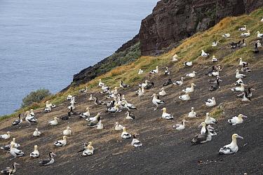 Short-tailed Albatross (Phoebastria albatrus) nesting colony, Torishima Island, Japan  -  Tui De Roy