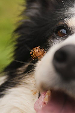 Burdock (Arctium sp) entangled on the hair of a Domestic Dog (Canis familiaris), inspiration for the invention of Velcro  -  Albert Lleal