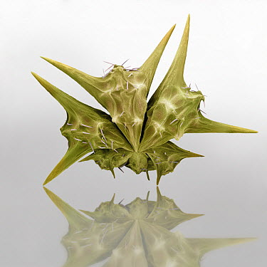 Yellow Vine (Tribulus terrestris) seed covered in sharp spines that enable dispersal, magnification 23x  -  Albert Lleal