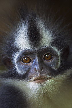 North Sumatran Leaf Monkey (Presbytis thomasi) female, Gunung Leuser National Park, Sumatra, Indonesia  -  Fiona Rogers