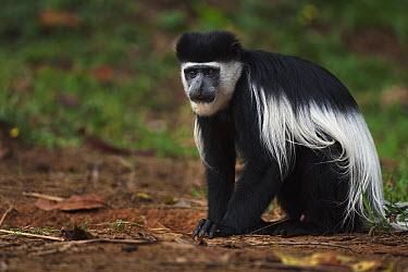 Mantled Colobus (Colobus guereza) young male ingesting soil for its salts and minerals, Kakamega Forest Reserve, Kenya  -  Fiona Rogers
