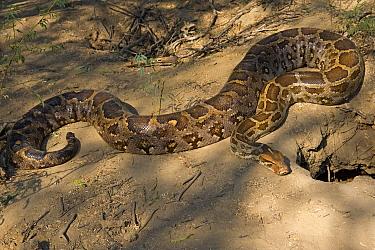 Asian Rock Python (Python molurus) at burrow, Keoladeo National Park, Barathpur, India  -  Winfried Wisniewski
