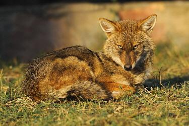 Golden Jackal (Canis aureus), Keoladeo Nationa Park, India  -  Winfried Wisniewski