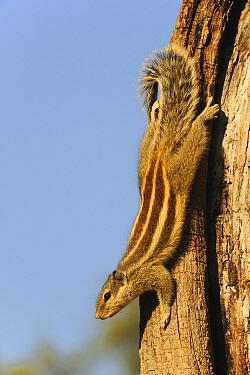 Indian Palm Squirrel (Funambulus palmarum), Keoladeo National Park, Barathpur, India  -  Winfried Wisniewski