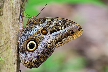 Fruhstorfer's Owl-Butterfly (Caligo oedipus) feeding on tree sap exuding from scratches made by an Ocelot (Leopardus pardalis), Soberania National Park, Gamboa, Panama  -  James Christensen