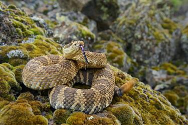Northern Pacific Rattlesnake (Crotalus oreganus oreganus) flicking tongue in defensive posture, Barker Canyon Road, Grand Coulee, Grant County, Washington  -  James Christensen