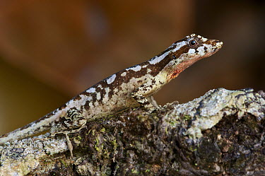 Garland Anole (Norops vittigerus), Sierra Llorona Lodge, Santa Rita Arriba, Panama  -  James Christensen