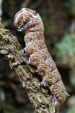 Ello Sphinx Moth (Erinnyis ello) caterpillar, Sierra Llorona Lodge, Santa Rita Arriba, Panama  -  James Christensen
