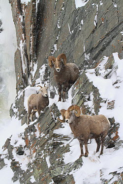 Bighorn Sheep (Ovis canadensis) rams and a female on snowy cliff face, Glacier National Park, Montana  -  Sumio Harada