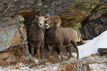 Bighorn Sheep (Ovis canadensis) ram and ewe near cave, Glacier National Park, Montana  -  Sumio Harada