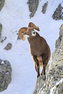 Bighorn Sheep (Ovis canadensis) ram on cliff face, Glacier National Park, Montana  -  Sumio Harada