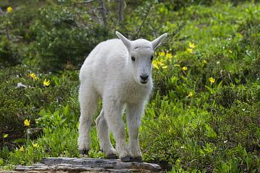 Mountain Goat (Oreamnos americanus) kid, Glacier National Park, Montana  -  Sumio Harada