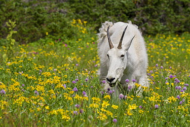 Mountain Goat (Oreamnos americanus) feeding on wildflowers, Glacier National Park, Montana  -  Sumio Harada