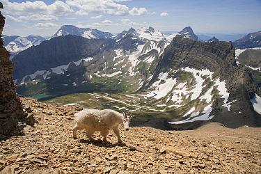 Mountain Goat (Oreamnos americanus) walking along talus in mountains, Glacier National Park, Montana  -  Sumio Harada