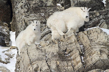 Mountain Goat (Oreamnos americanus) males on cliff face, Glacier National Park, Montana  -  Sumio Harada