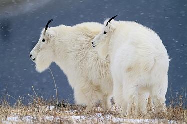 Mountain Goat (Oreamnos americanus) males in snow, Glacier National Park, Montana  -  Sumio Harada