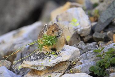 American Pika (Ochotona princeps) collecting vegetation for haypile, Glacier National Park, Montana  -  Sumio Harada