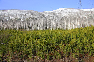 Conifer forest regrowth after wildfire, Glacier National Park, Montana  -  Sumio Harada