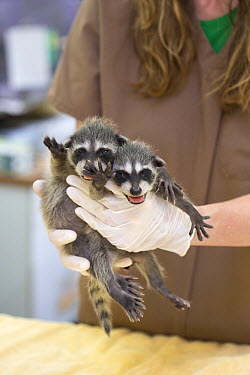 Raccoon (Procyon lotor) orphans at wildlife rehabilitation center, WildCare Wildlife Rehabilitation Center, San Rafael, California  -  Suzi Eszterhas