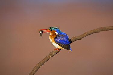 Malachite Kingfisher (Alcedo cristata), Marievale Bird Sanctuary, South Africa  -  Richard Du Toit