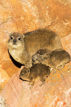 Rock Hyrax (Procavia capensis) mother and young, Marakele National Park, South Africa  -  Richard Du Toit