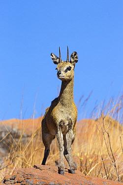 Klipspringer (Oreotragus oreotragus) male, Marakele National Park, South Africa  -  Richard Du Toit