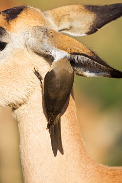 Red-billed Oxpecker (Buphagus erythrorhynchus) looking for insects on ear of an Impala (Aepyceros melampus), Kruger National Park, South Africa. Sequence 2 of 2  -  Richard Du Toit