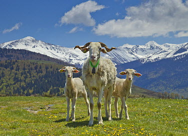 Domestic Goat (Capra hircus) nanny and kids, Pyrenees, France  -  Yva Momatiuk & John Eastcott